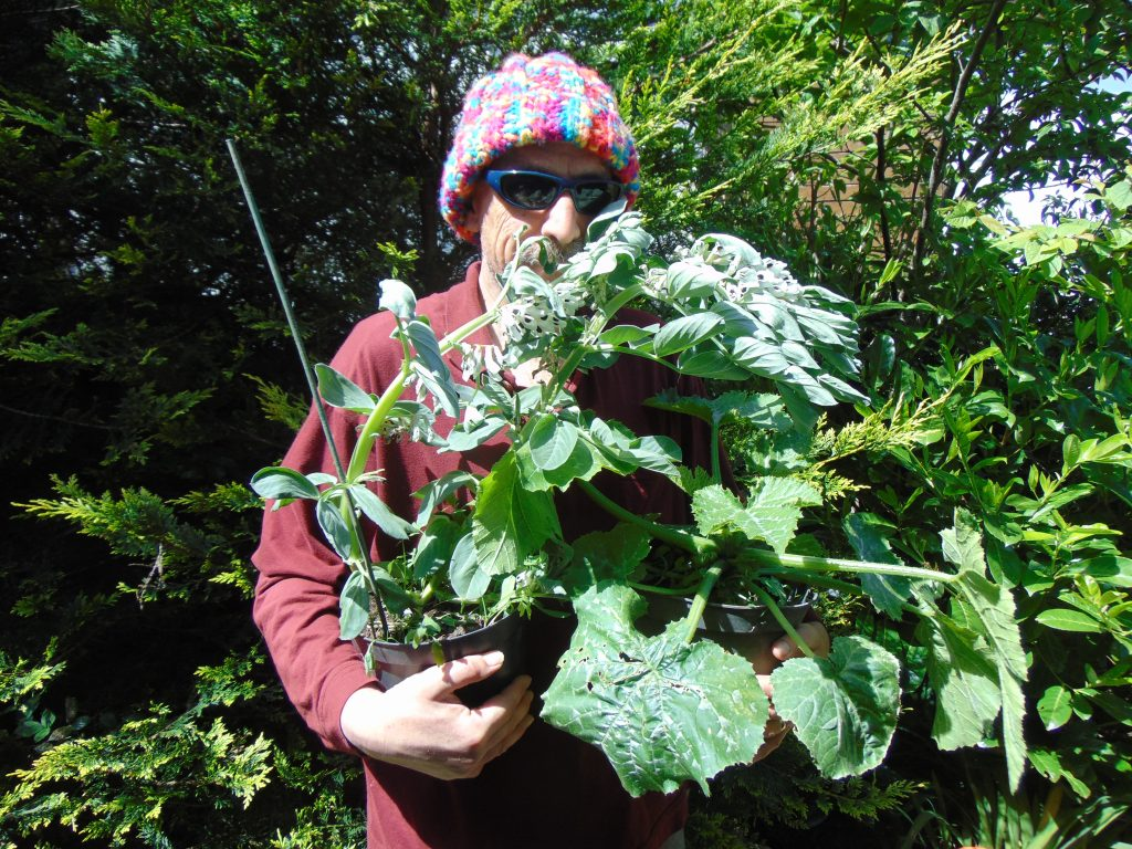 Bryan wears his usual colourful wooly hat. He smiles and holds an armful of young broad bean plants.